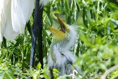 Ardea alba, gran egret Foto de archivo libre de regalías