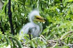 Ardea alba, gran egret Imagenes de archivo