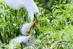 Ardea alba, gran egret Fotografía de archivo