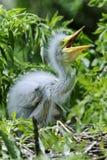Ardea alba, gran egret Fotos de archivo