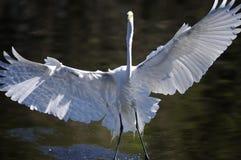 Ardea alba, grande egret Imagens de Stock Royalty Free