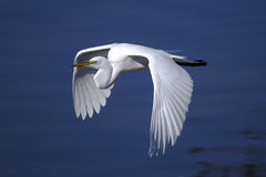Ardea alba, grande egret Imagem de Stock Royalty Free