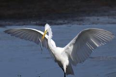 Ardea alba, grande egret Immagini Stock Libere da Diritti