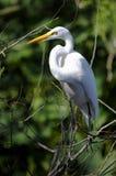 Ardea alba, grande egret Immagine Stock Libera da Diritti