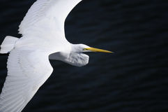 Ardea alba, grande egret Fotografie Stock