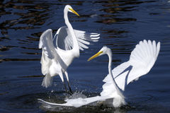 Ardea alba, grande egret Fotografia Stock