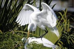 Ardea alba, grande egret Fotografia Stock Libera da Diritti