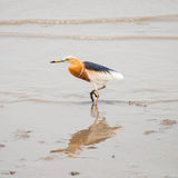 Ardea alba, grande egret Imagens de Stock