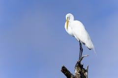 Ardea alba, grande egret Fotografie Stock Libere da Diritti