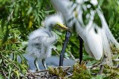 Ardea alba, grande egret Fotografia de Stock Royalty Free
