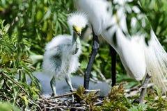 Ardea alba, grande egret Fotos de Stock Royalty Free