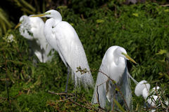 Ardea alba, great egret. Pair on the nest Stock Photography