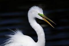 Ardea alba, great egret. Talking Stock Photos