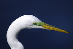 Ardea alba, great egret Stock Photos