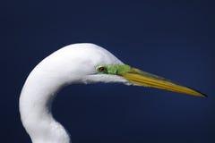 Ardea alba, great egret. Closeup portrait Stock Photos