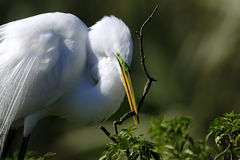 Ardea alba, great egret. Building the nest Royalty Free Stock Image