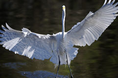 Ardea alba, great egret. Landing to the water Royalty Free Stock Images