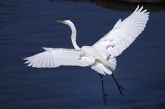 Ardea alba, great egret. Landing Stock Images