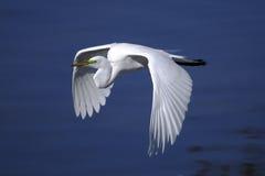 Ardea alba, great egret. Flying Royalty Free Stock Image