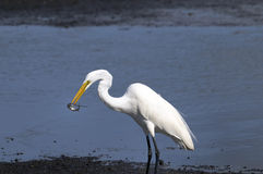 Ardea alba, great egret Royalty Free Stock Photo