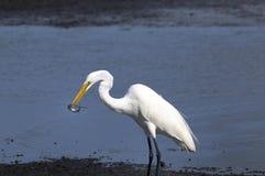 Ardea alba, great egret Royalty Free Stock Photo