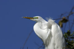 Ardea alba, great egret Stock Image