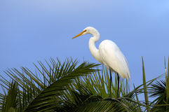 Ardea alba, great egret Stock Photography