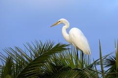 Ardea alba, great egret Stock Photography