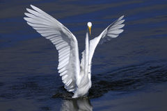Ardea alba, great egret Stock Photo