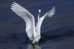 Ardea alba, great egret Stock Photo