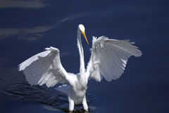 Ardea alba, great egret Royalty Free Stock Photos