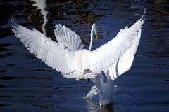 Ardea alba, great egret Royalty Free Stock Photography