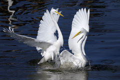 Free Ardea Alba, Great Egret Royalty Free Stock Photos - 11752528