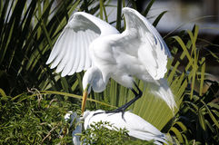 Free Ardea Alba, Great Egret Royalty Free Stock Photo - 13514885