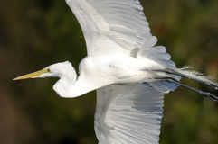 Ardea alba, great egret Royalty Free Stock Image