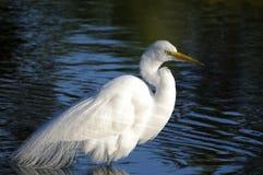 Ardea alba, great egret Stock Image