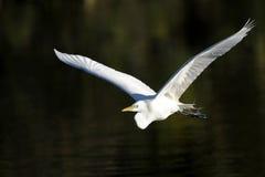 Ardea alba, great egret Stock Images