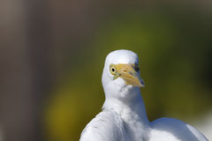 Ardea alba, héron grand Image libre de droits