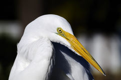 Ardea alba, héron grand Photo stock