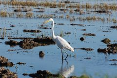 Ardea Alba white egret fishing in the Albufera Natural Park, Valencia, Spain royalty free stock photos