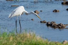 Ardea Alba white egret hunting in the Albufera Natural Park, Valencia, Spain.  royalty free stock photography
