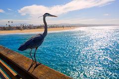 Ardea blu dell'airone cinerea in pilastro California di Newport Immagini Stock