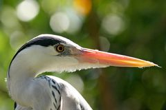 Ardea cinerea Images stock