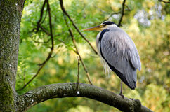 Ardea cinerea. Grey heron, Ardea cinerea sitting on a tree Royalty Free Stock Images