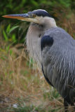 Ardea cinerea Royalty Free Stock Photos