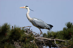 Ardea cinerea(3) Royalty Free Stock Photography