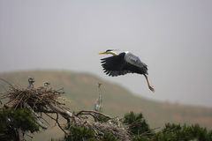 Ardea cinerea(6) Royalty Free Stock Images