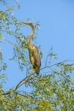 Ardea cinerea - Gray Heron on branch. Ardea cinerea in tree, ornithology Royalty Free Stock Photography