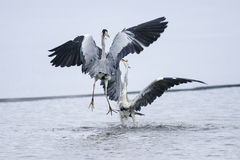 Ardea cinerea, grey heron Stock Photos