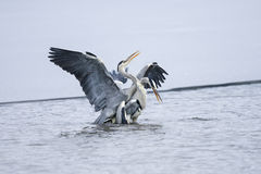 Ardea cinerea, grey heron Royalty Free Stock Photo